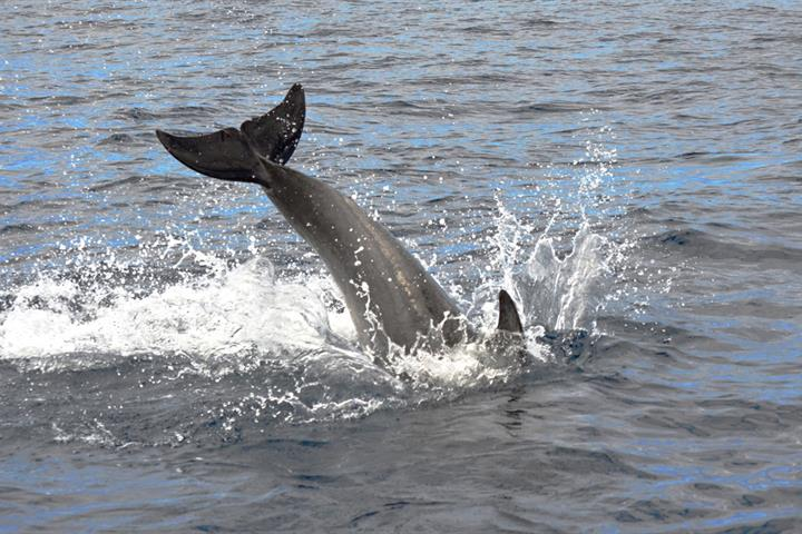 Ethical whale and dolphin watching in Tenerife