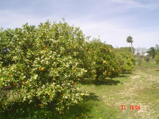 Some of the orange trees