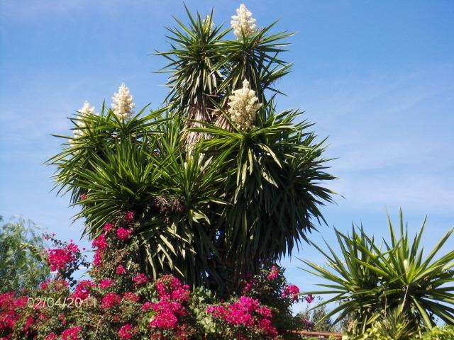 Elephant Yucca tree in garden Villa Torrent