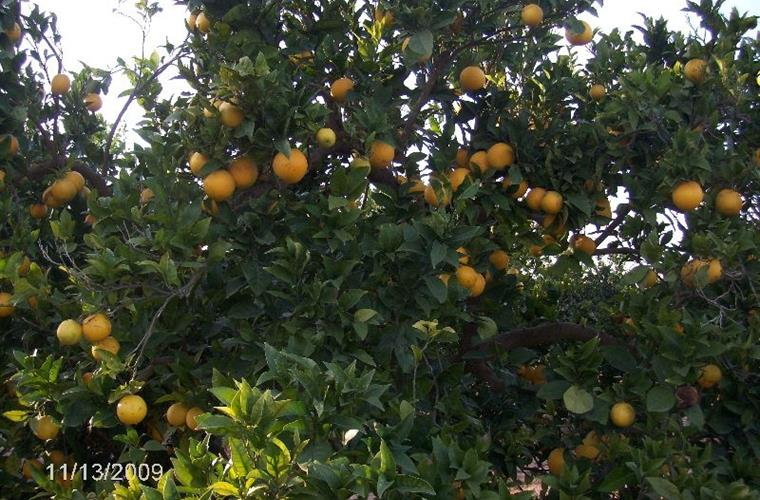 the Spanish oranges opposite Villa Torrent