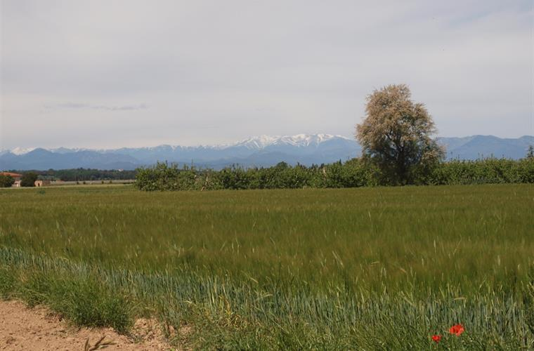 Wheat, poppies, snowy mountains make Spring a special time