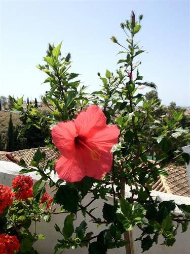 Hibiscus in the garden