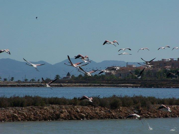 Flamingoer på Mar Menor