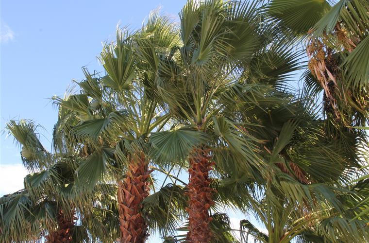 Palm trees in garden