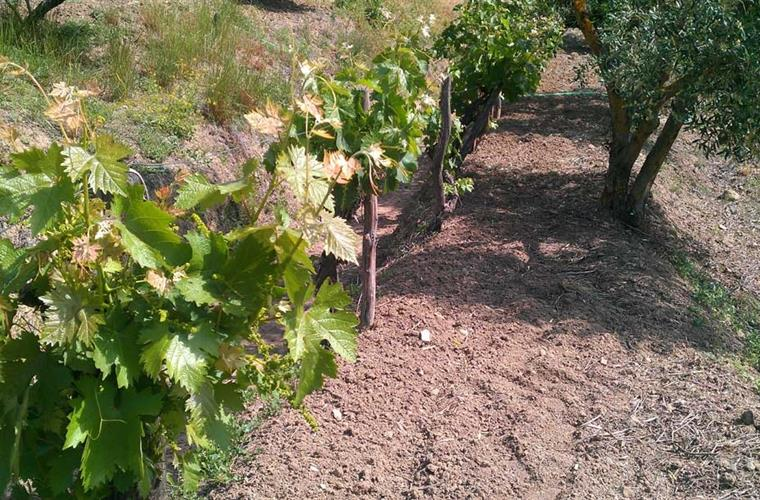 This is a row of vines growing grapes for the table - enjoy!