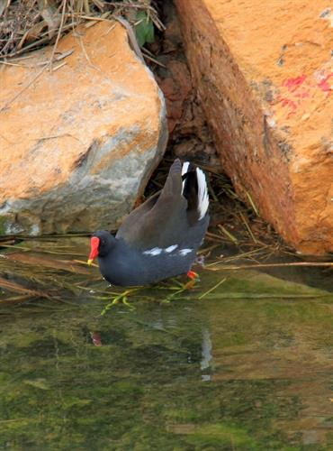 Waterhen with green feet.