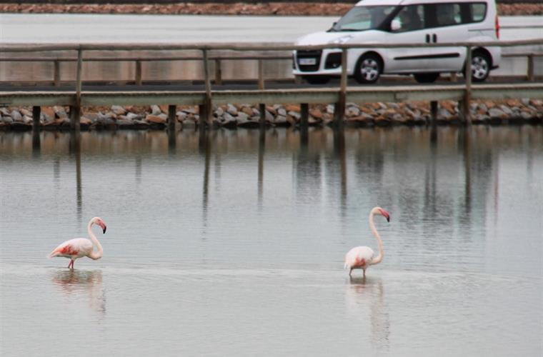 Flamingoer nearby the house