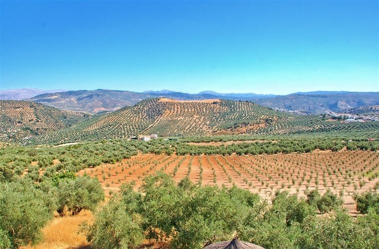 View Across Olive Groves from Terrace