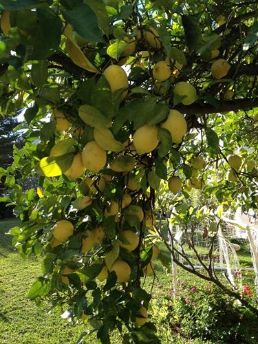 Lemontree in the garden.