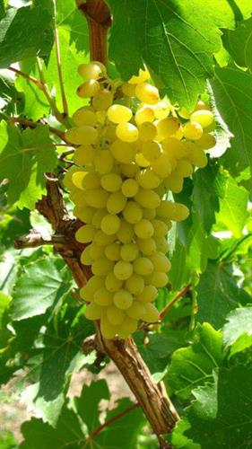 White and red grapes ready to eat in August. Growing in abundance