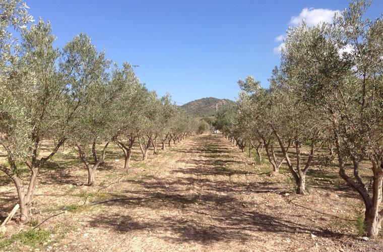 olive groves in grounds