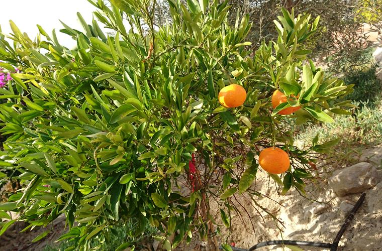 garden with orange and lemon trees