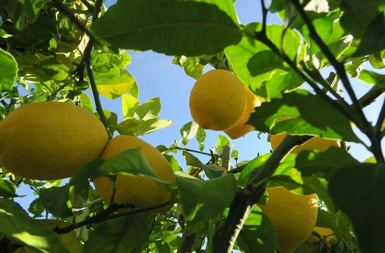 Enjoy a slice of lemon from the garden in your tea!
