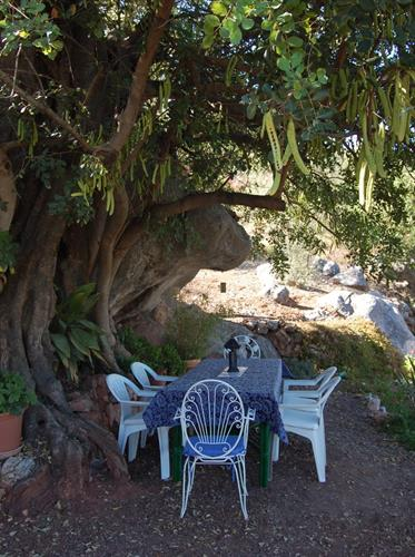 Under the ancient carob tree