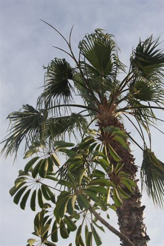 Our Palm Tree in Garden