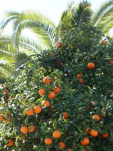 "Orange trees everywhere. Costa Blanca is Spains ""vegetable garden"""