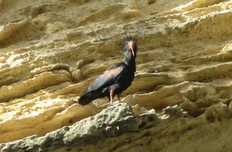 A 'Bald Ibis' the the Barca, Vejer - photo taken by Finca Higueron