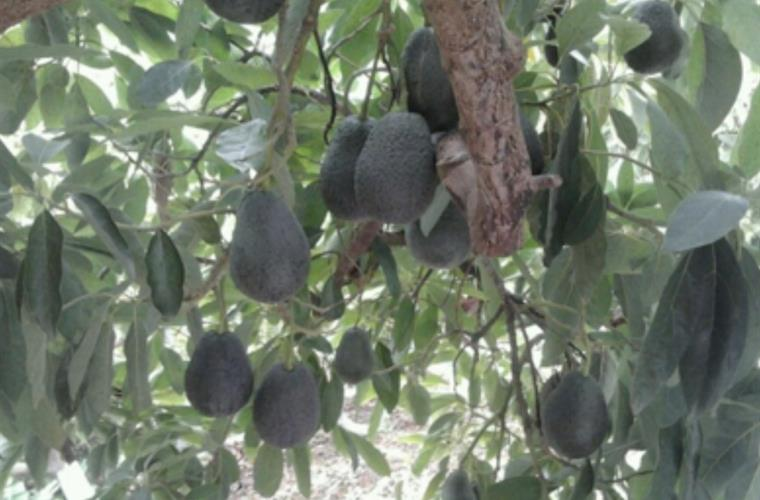 Avo tree beside house
