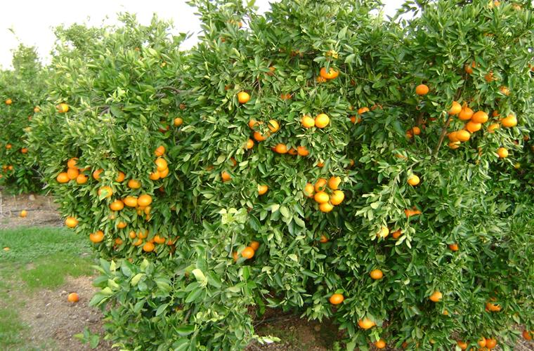 Oranges in the garden nest to the drive
