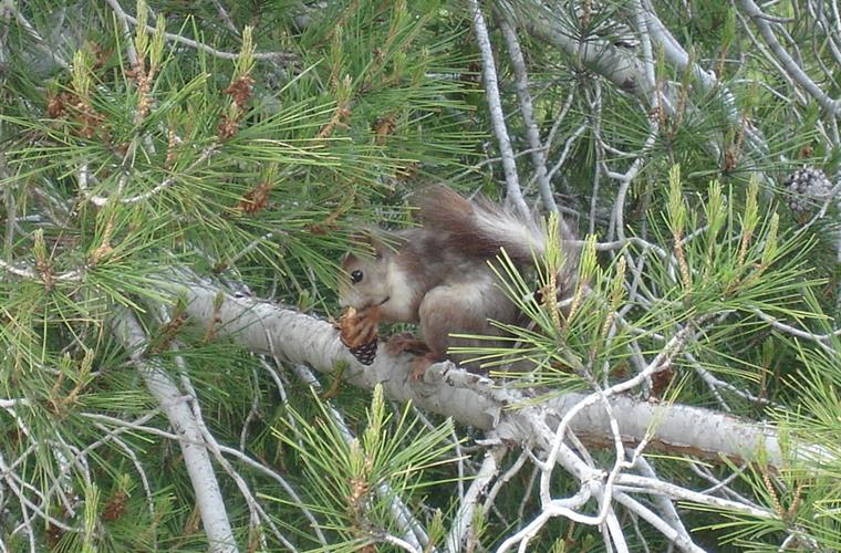 Squirrel in garden treetop