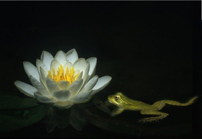 Frog and lily in the mill pond