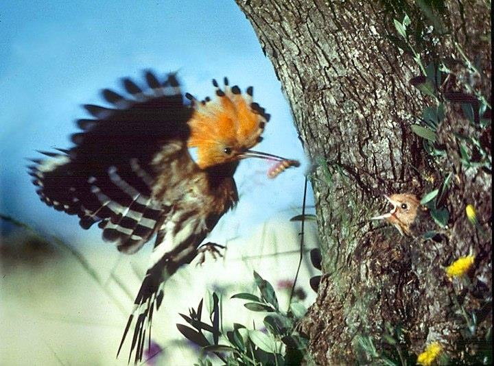 Wild life in the area. A hoopoe feeds young in a olive tree