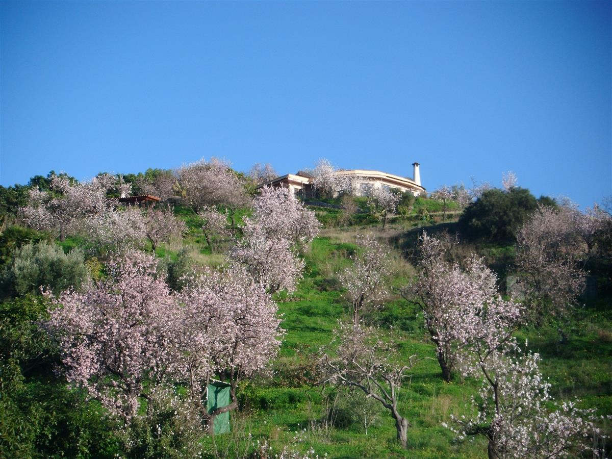 January: Almond trees in flowers in the garden of the villa