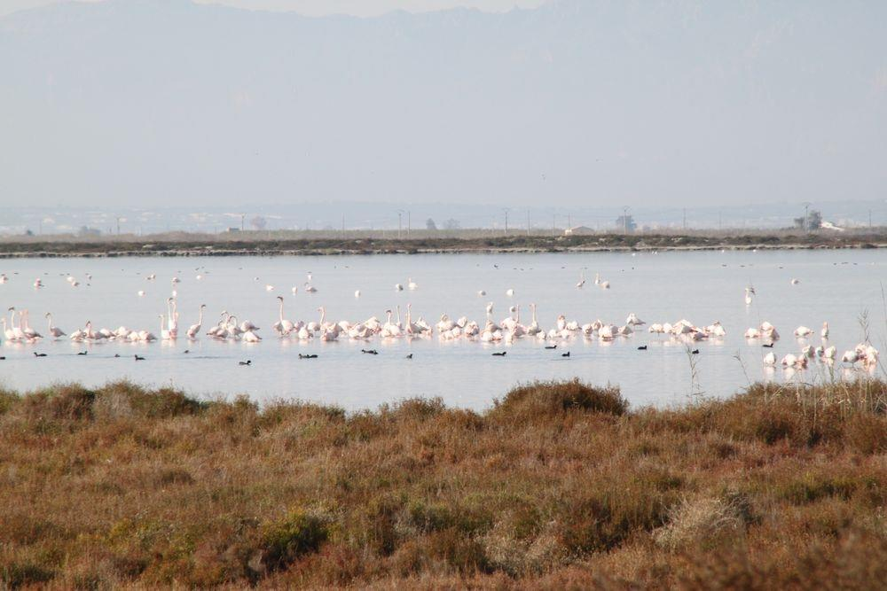 Pink Flamingos at River Ebros's Delta. 20 minutes from the house