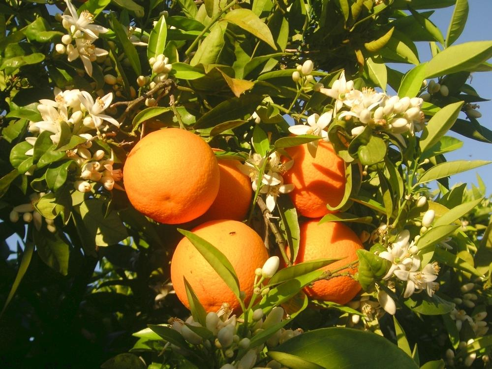 Oranges and orange blossom, Benimeli, Alicante