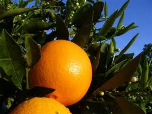 ORANGES IN DECEMBER