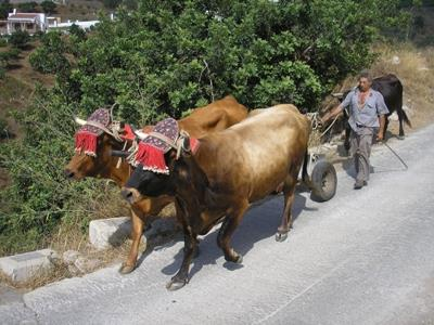 A local farmer with his oxen on an outing.