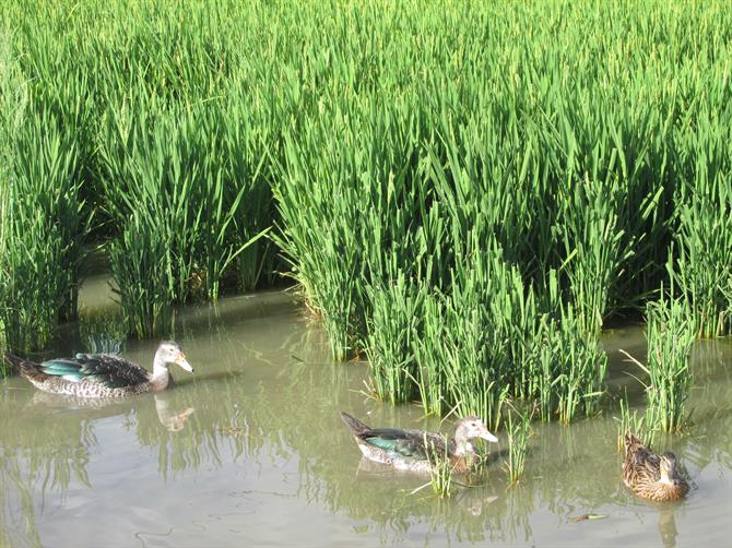 Ducks in La Albufera rice fields