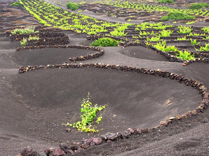 Vineyard in volcanic soil, La Geria, Lanzarote
