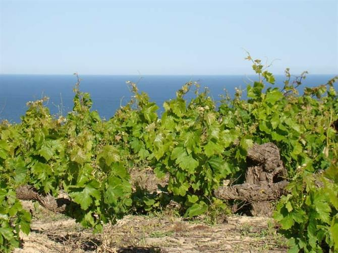 Manilva vines above the Mediterranean