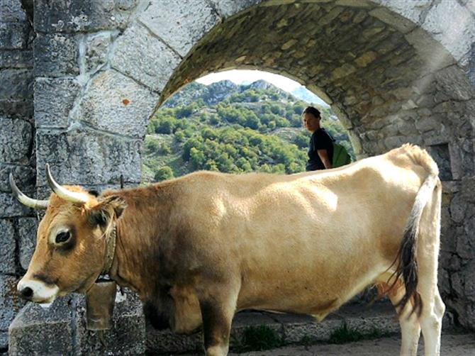 Asturian cow at Lagos de Covadonga