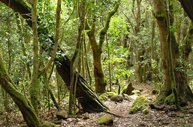 Laurisilva Forest, Garajonay National Park, La Gomera