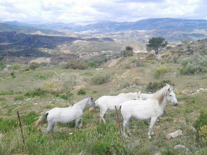 Andalusian Horses
