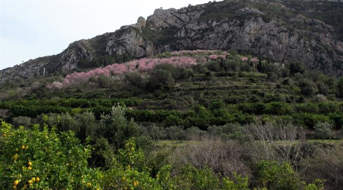 Oranges and almond blossom in Alicante mountains