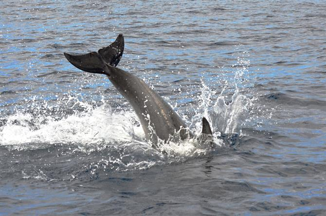Bottlenose Dolphin at play, Los Gigantes, Tenerife
