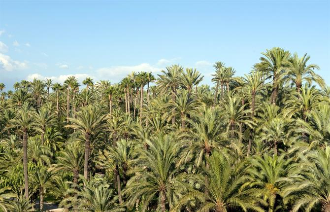 Elche - palm forest