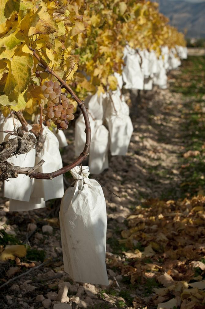 Alicante province - grapes wrapped in paper bags