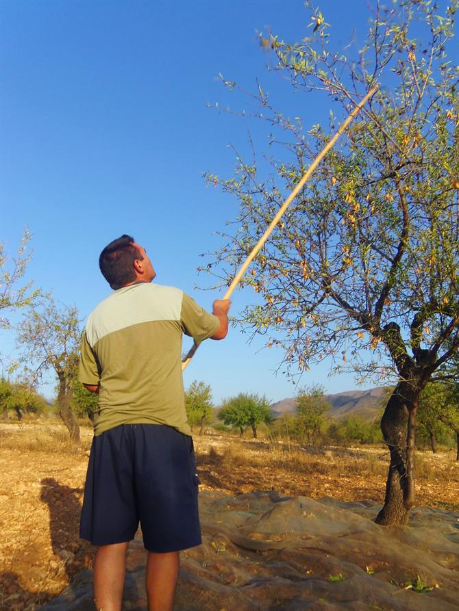 Miguel beats off almonds from tree with a large bamboo stick