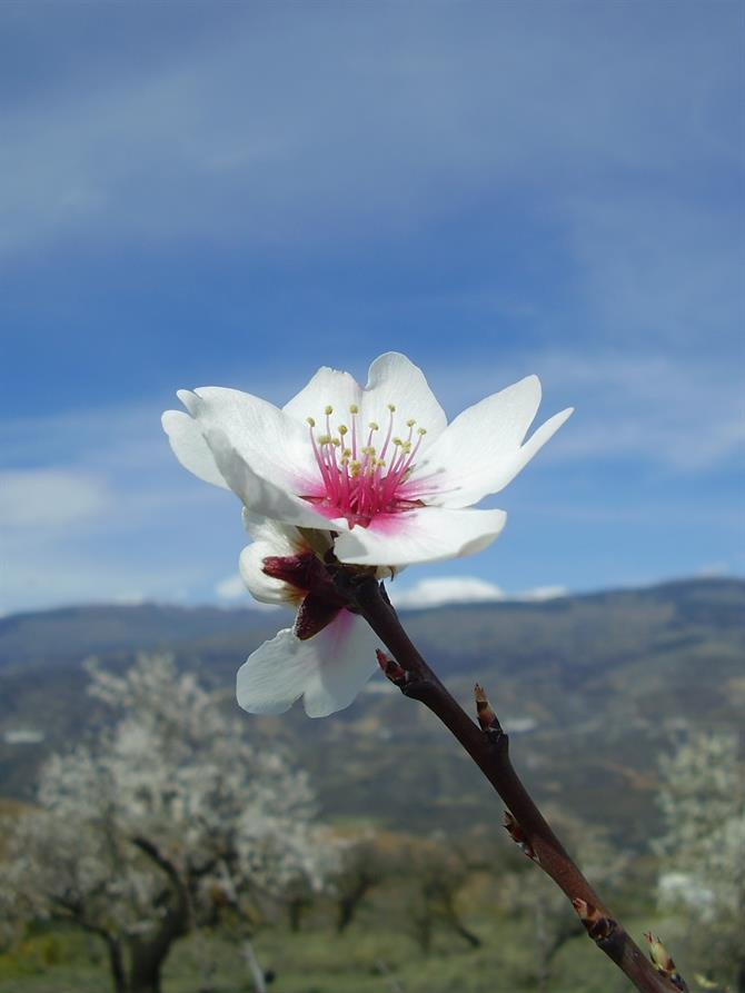 Almond tree flower, Malaga - Andalusia (Spain)