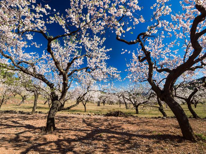 Blossoming almond trees, Malaga - Andalusia (Spain)