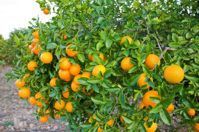 Valencia-Oranges are ready to be picked