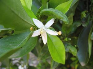 Orange blossoms smell sweet and sexy