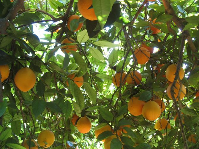 Sitting under a roof of an Orange tree