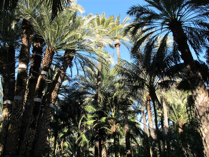 Elche palm trees