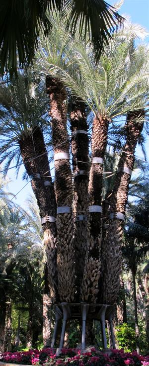 Elche Imperial Palm