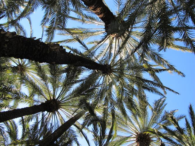 Palm trees in Elche
